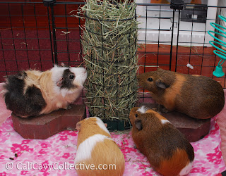 guinea pig timothy hay comparison review
