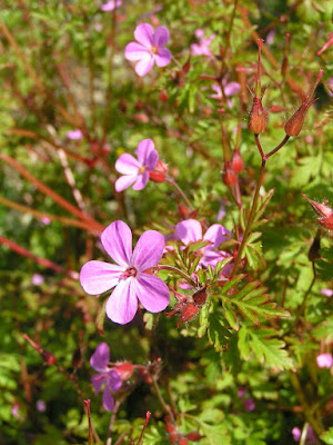 Herb Robert (Geranium Robertianum) Overview, Health Benefits, Side effects