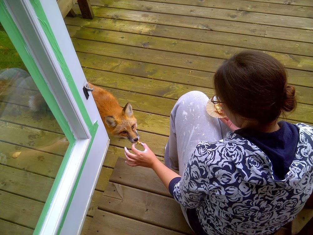 Hand Feeding a Wild Fox