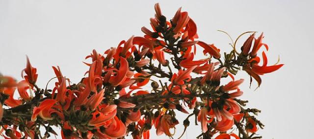 Flores del árbol tesu