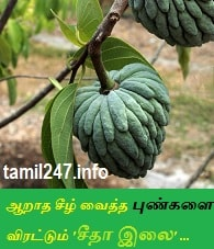 kayam kunamaga seetha ilai paste nattu maruthuvam, paati vaithiyam, how to heal a wound fast with home remedies, infected wound treatment home, how to cure infected wound treatment in tamil