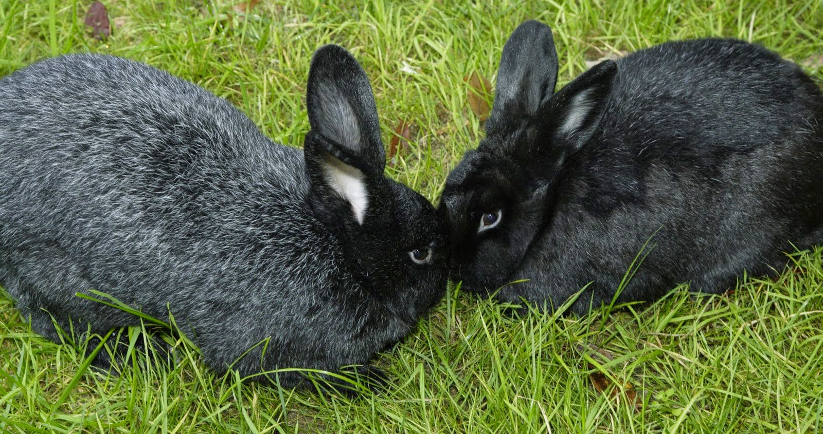 amping up with silver fox rabbits edible oasis