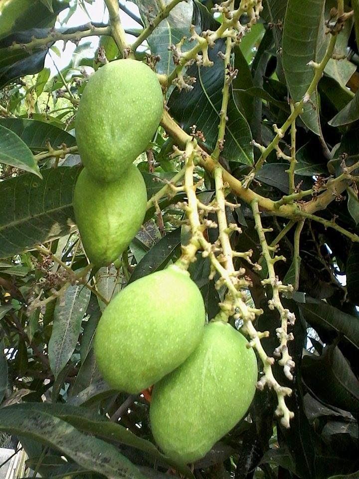 Agar Pohon Mangga Berbuah Lebat Agar Pohon Mangga Berbuah