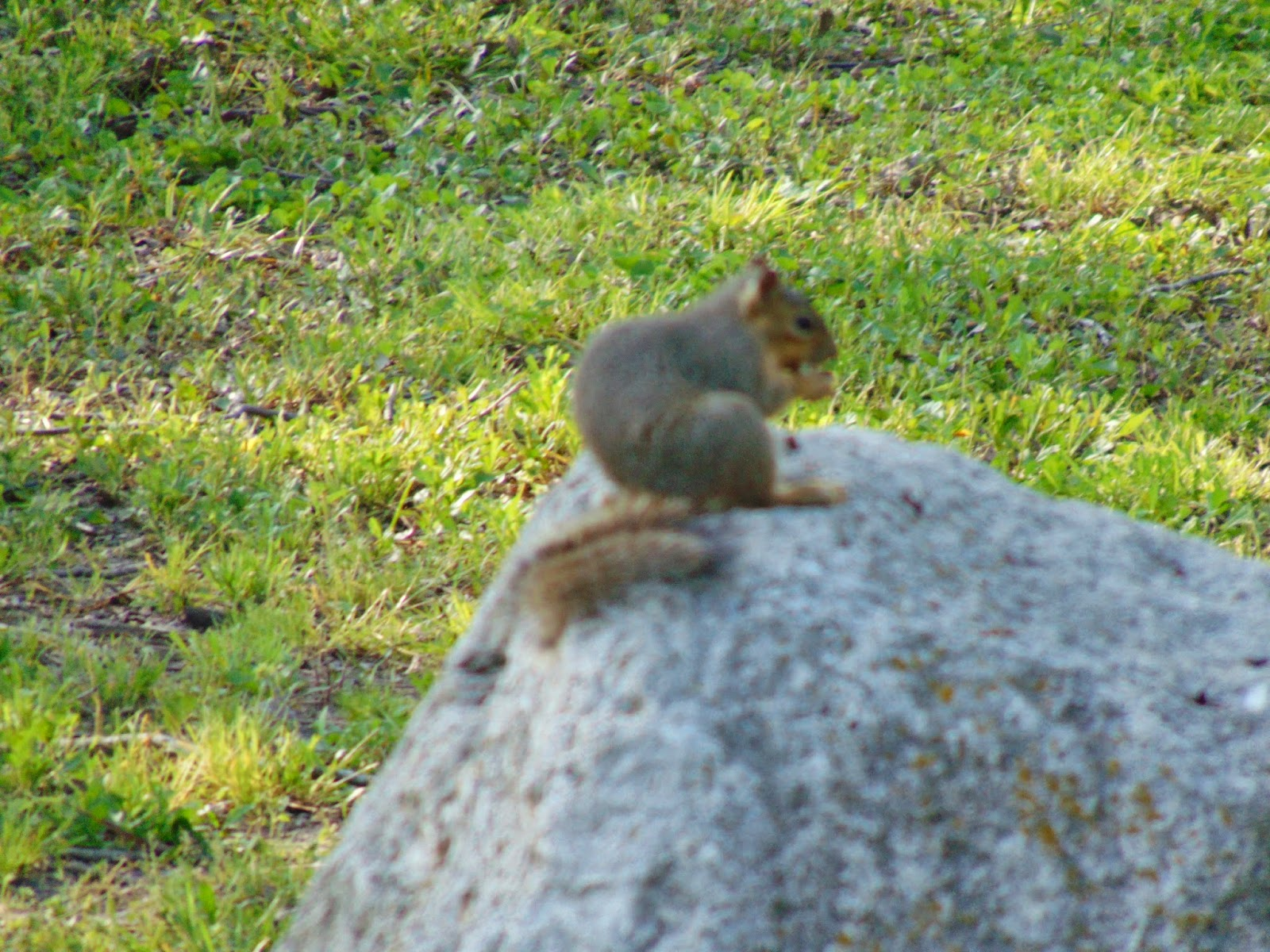 Squirrel sits on a rock with acorn
