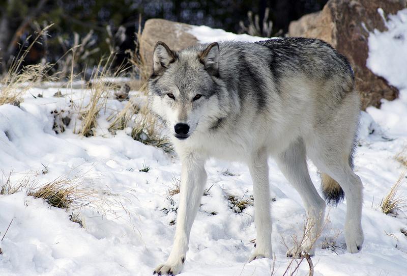 Chicken Wolf Dog Home Run