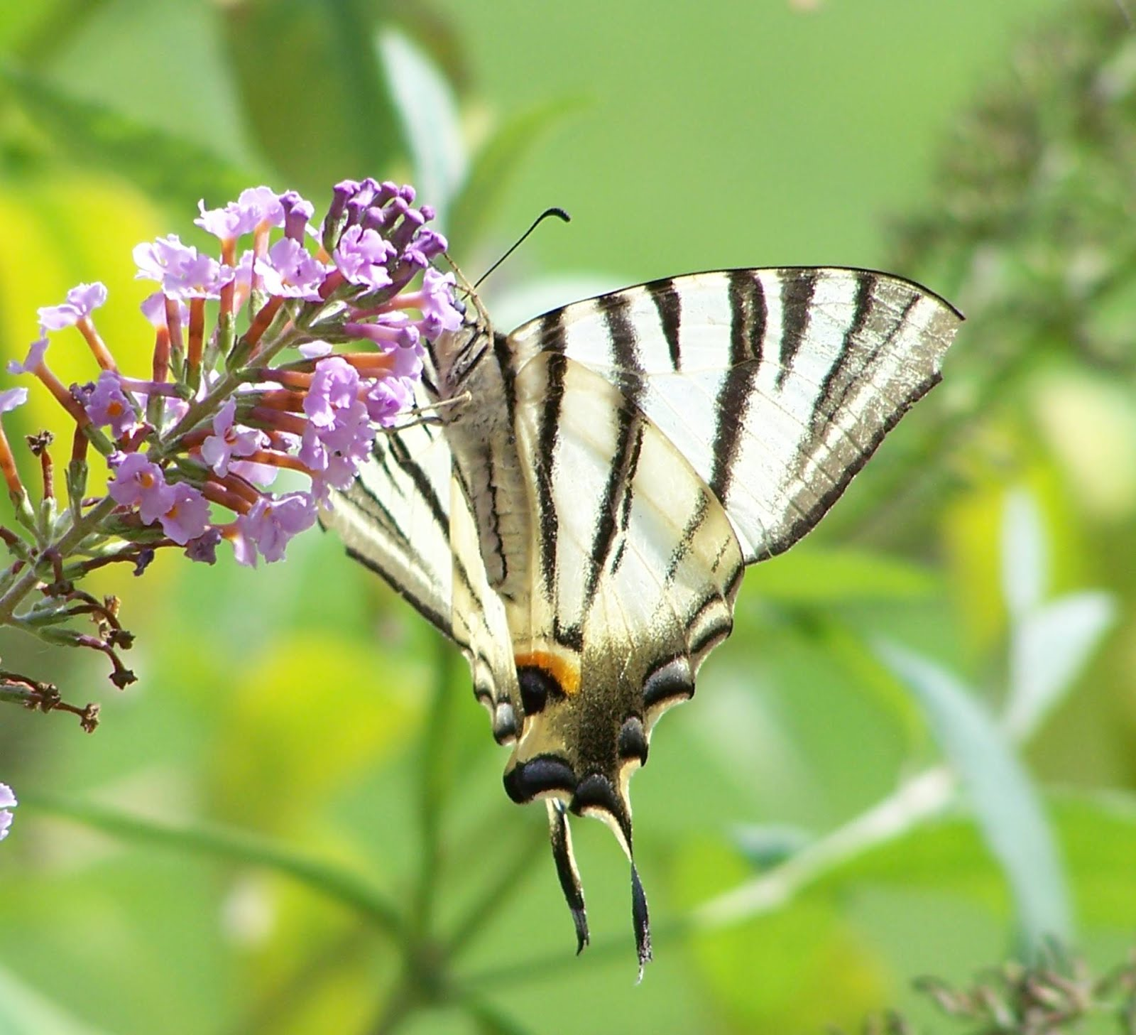 Scarce Swallowtail