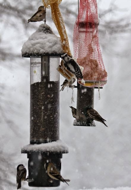 chickadees, woodpecker, finches at feeders