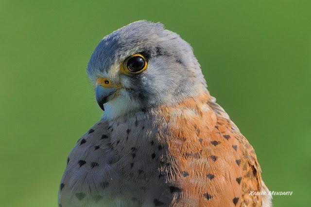 Belatz gorria, Falco tinnunculus, Cernícalo vulgar,