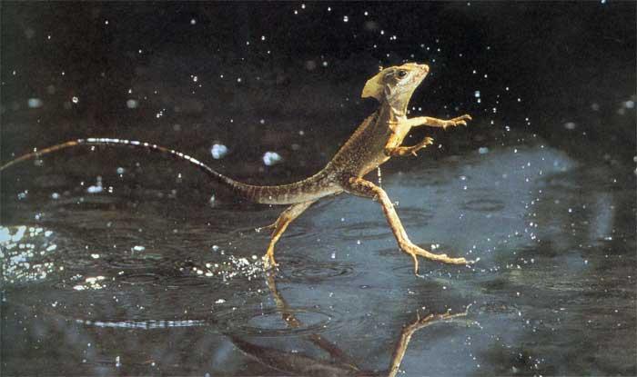 Increible, el animal que camina sobre el agua