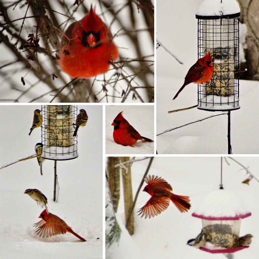 Sharon Surman Photography The Cardinal