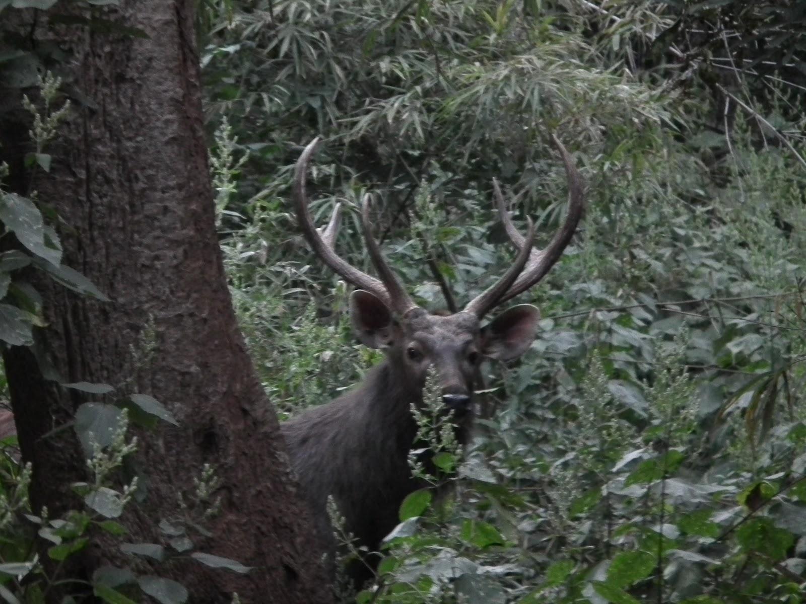 Sambar Deer2