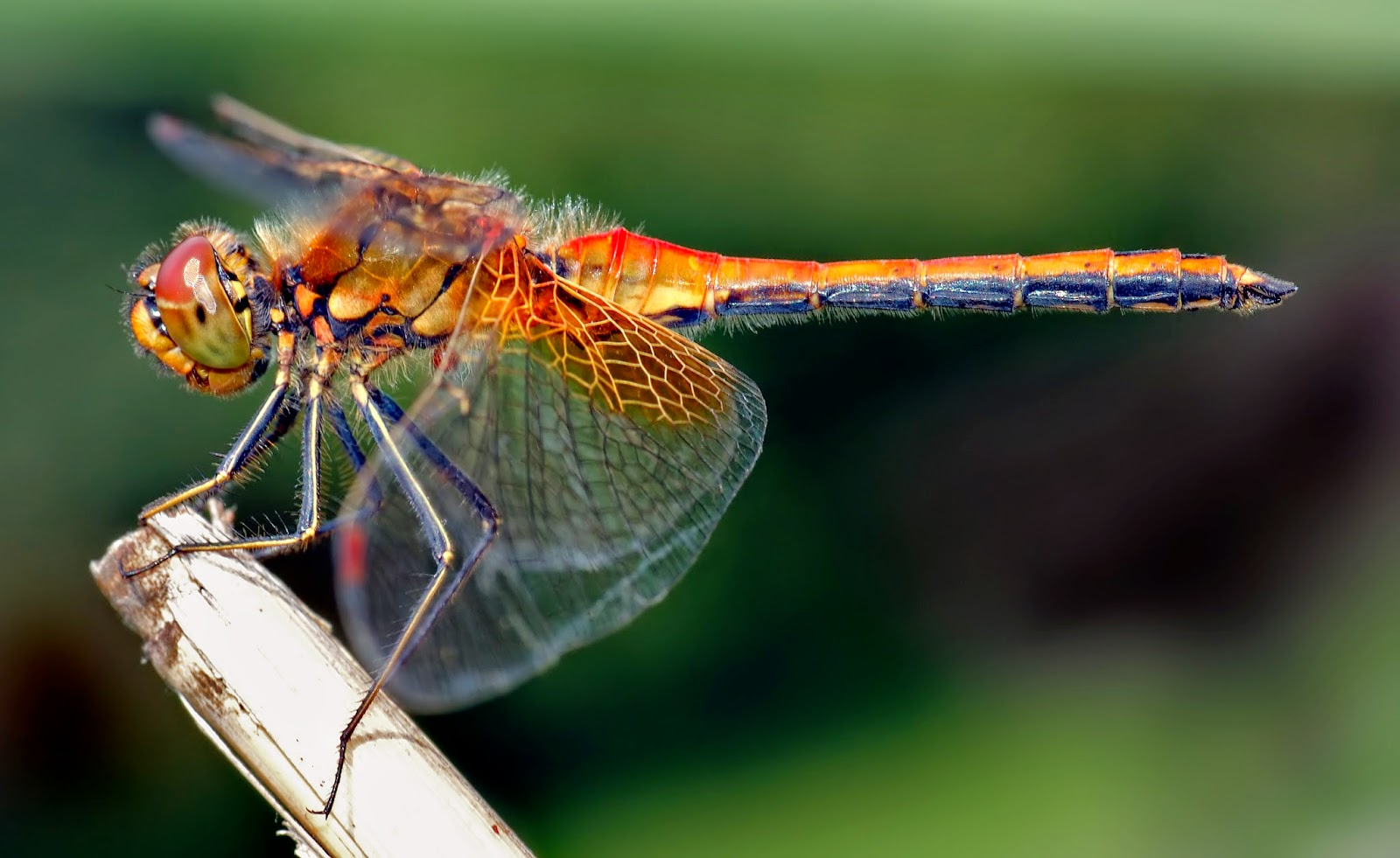 Dragonflies help control mosquitos