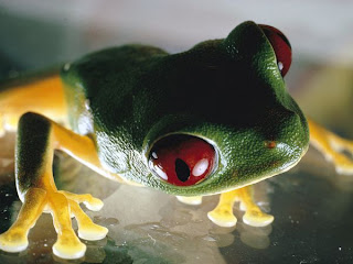 sitting full image pic of red eyed tree frog