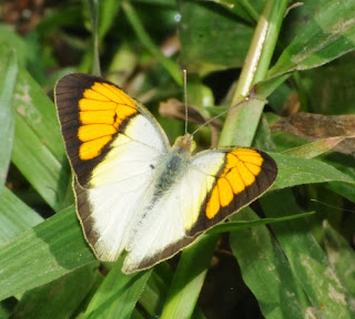 Yellow Orange Tip (Ixias pyrene)