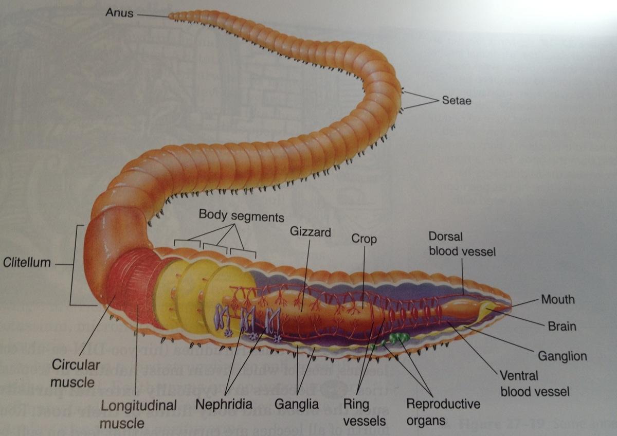 Aquatic Annelida Diagram - Auto Electrical Wiring Diagram •