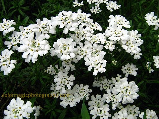Candytuft-Iberis umbellata white