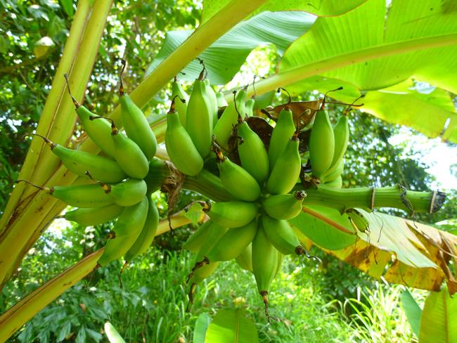 Plátanos en el camino