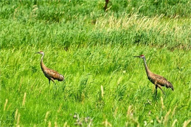 sandhill cranes in a seasonal wetland