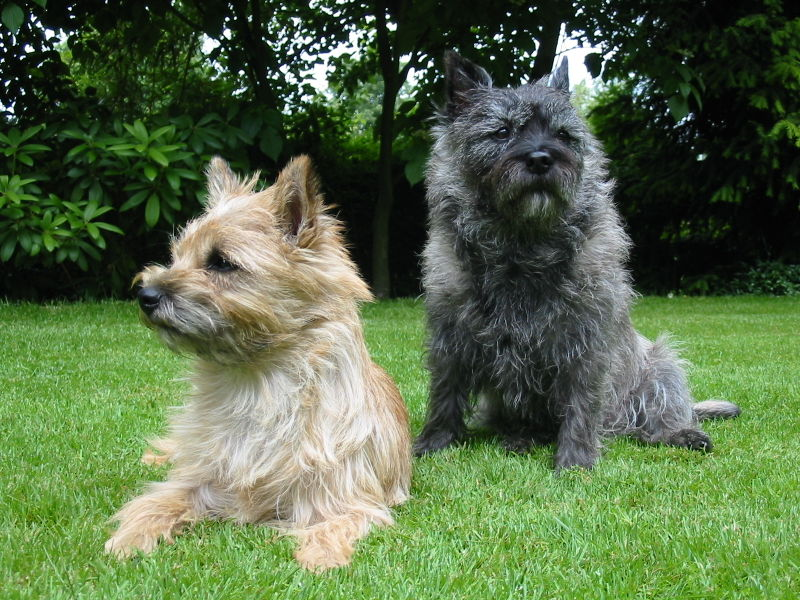 White Cairn Terrier Puppy Dog And Dog Blog: June...