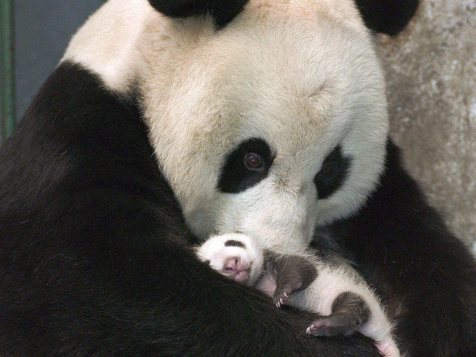 Nacen 14 osos panda en China Excélsior