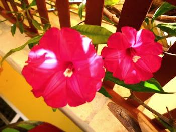 Hipoméia Rubra ( Orig. Índias Orientais ) e Malásia