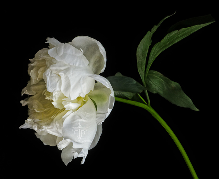 Dramatic White Peony on Black by Photographer Sarah Hollander