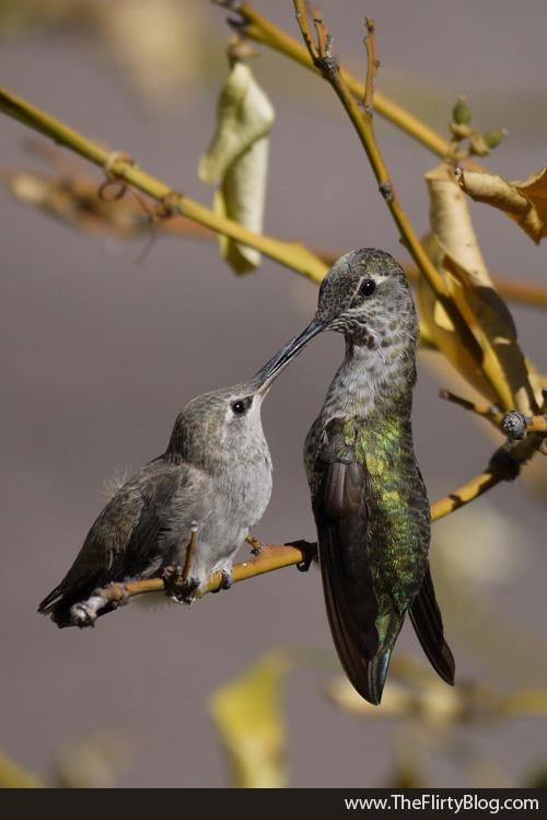 Fledging Hummingbird Feeding