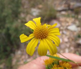 Viguiera longifolia, Longleaf False Goldeneye
