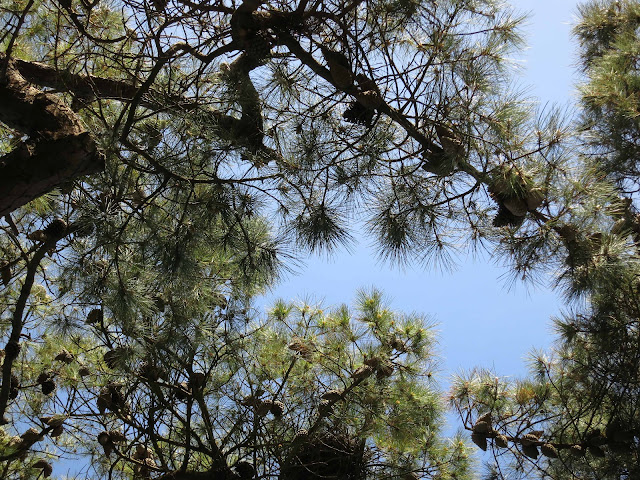 Looking through cones with branches to the blue sky beyond.