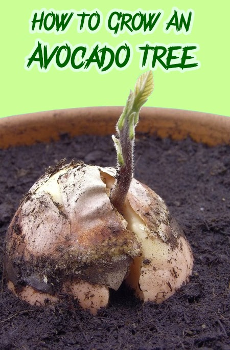 Garden and farms how to grow an avocado tree for How do you grow an avocado seed