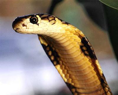 أخطر الكائنات علي وجه الأرض   الكوبرا Cobra