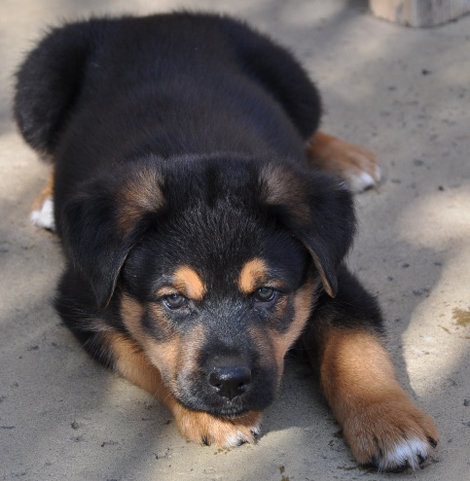 Rottweiler Mix German Shepherd Puppies German Shepherd...