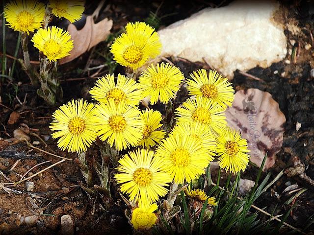 floricele galbene postavaru