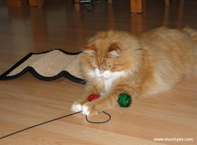 Murchyk the Cat is trying out his new toys he won taking picture with Santa