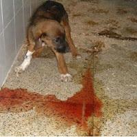 Cão com fezes com sangue