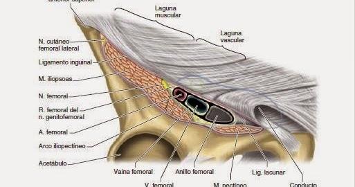 Anatomía para Cosmetología: LAGUNA VASCULAR Y LAGUNA MUSCULAR