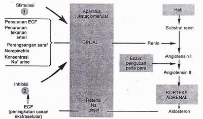 Regulasi sekresi aldosteron dengan sistem renin angiotensin. 1. penurunan Extracellular fluid space (ECF), penurunan tekanan arteri, perangsangan nervus, norepinefrin, dan peningkatan Na urine merangsang pelepasan renin.2. perluasan ECF, dengan melawan faktor-faktor ini, menekan pelepasan renin.