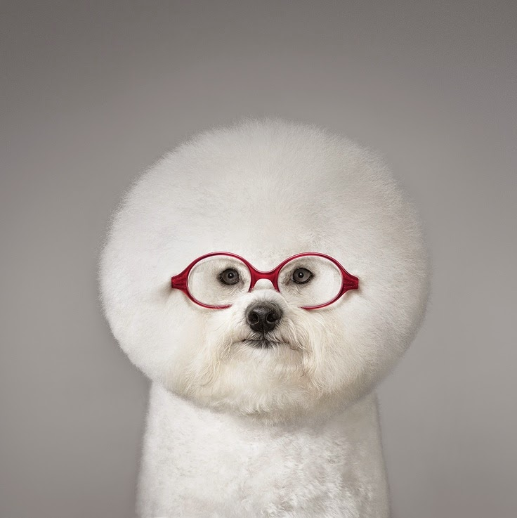 Bichon frise puppy picture, cute puppies picture, funny puppies ...