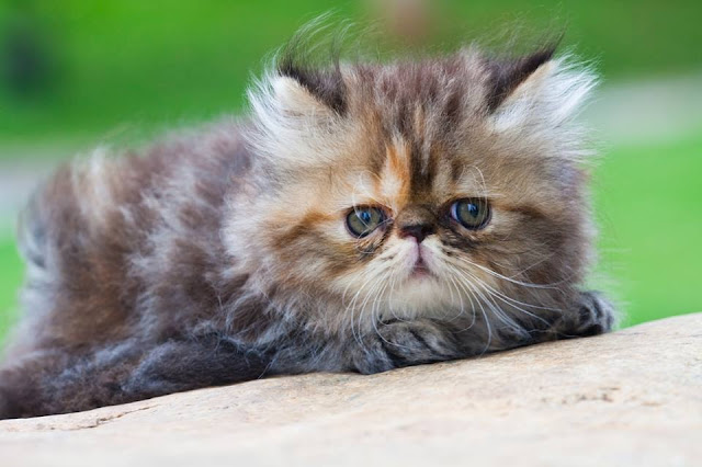 Little tabby Persian cat