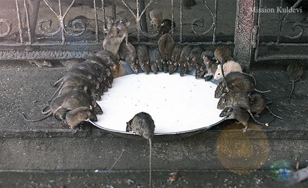 चूहों का अद्भुत मन्दिर- देशनोक