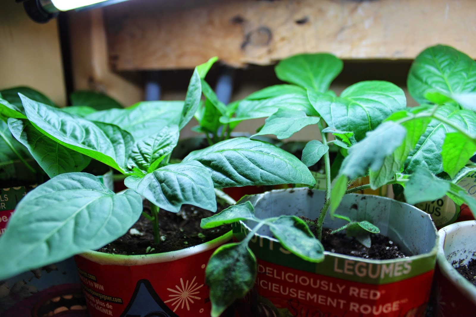 sweet pepper seedlings