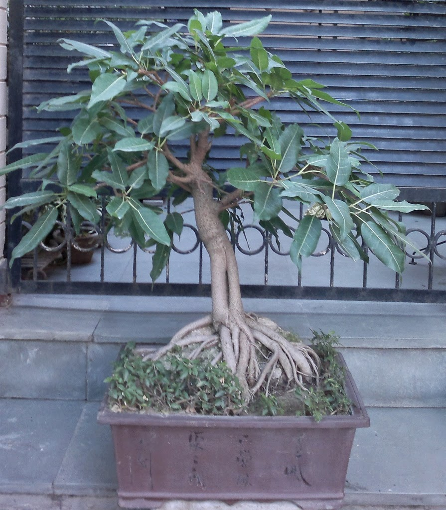 Another Of My PILKHAN Or Ficus Virens Bonsai BONSAIS PLANTS AS