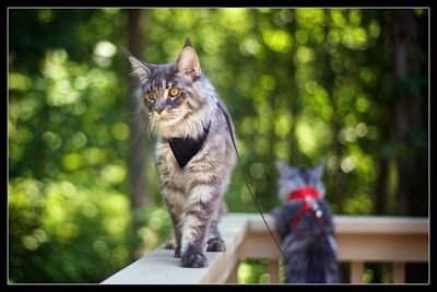 Maine coons, Stalone and Shiva, walking outside