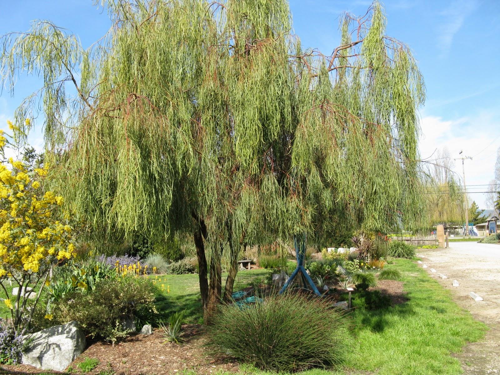 Trees Of Santa Cruz County Acacia Stenophylla Shoestring Acacia