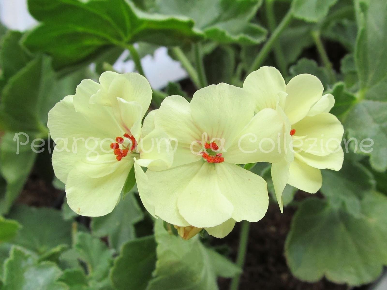 Pelargonium Da Collezione Pac First Yellow