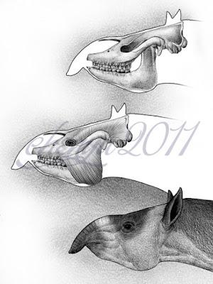 Dzungariotherium skull