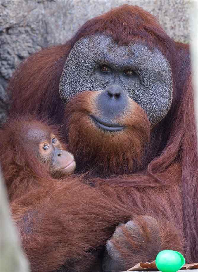 Smiling baby orangutan - photo#6