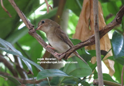 Brown-chested Flycatcher in Bidadari