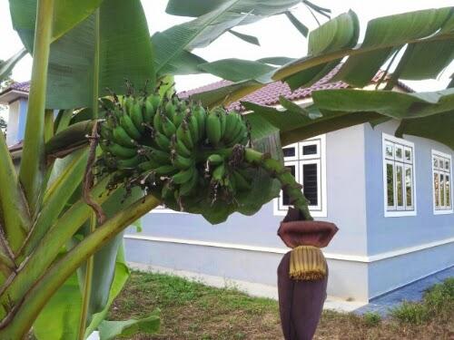 Pokok pisang dah berbuah