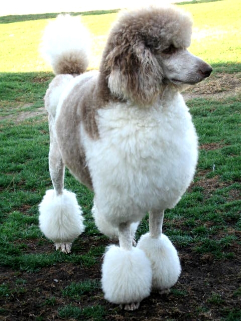 standard-parti-poodle-silver-01dogs